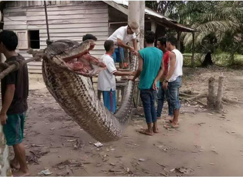 Ужас. В Индонезии 7-метровый питон напал на человека
