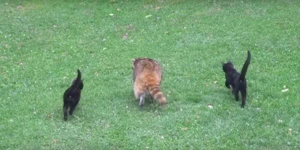 В мире животных. Котята устроились поводырями к слепому еноту – за еду