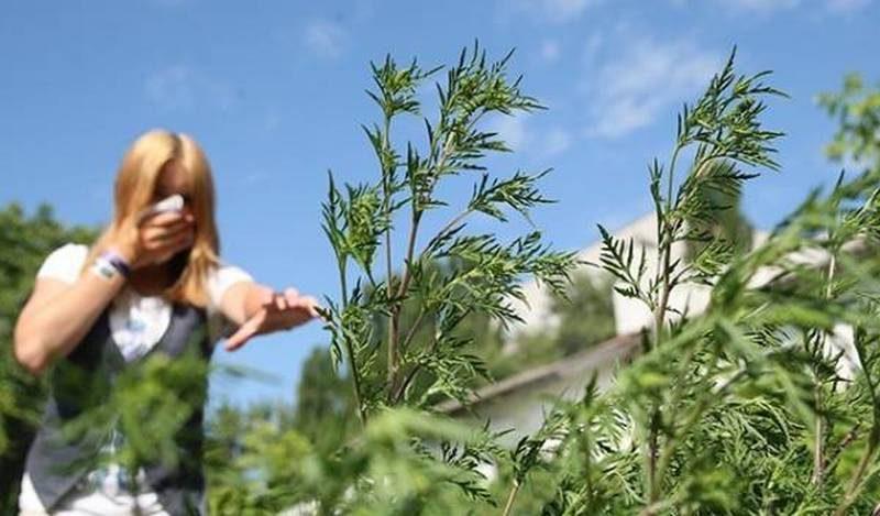 В Варваровке выписали админпротоколы на жителей микрорайона, «выращивающих» амброзию (ФОТО)