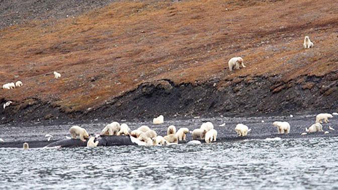 Две сотни белых медведей собрались на острове Врангеля, чтобы съесть китовую тушу