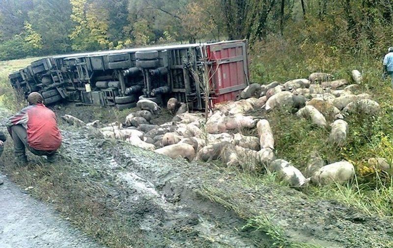На Полтавщине перевернулась фура с двумя сотнями свиней
