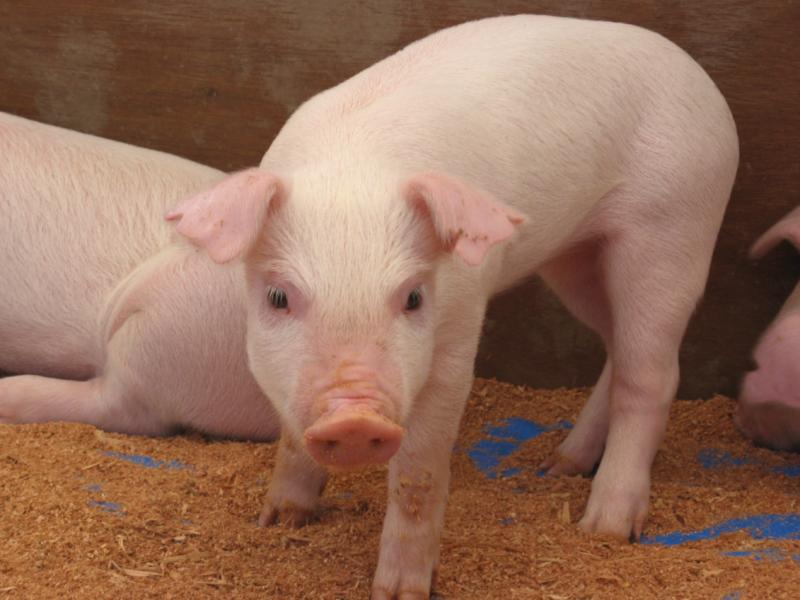 Снова беда в Новоодесском районе – к птичьему гриппу добавилась чума свиней