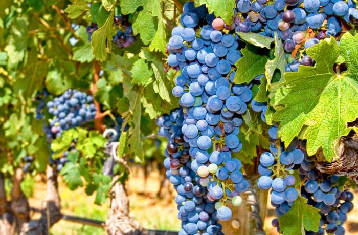 Треть урожая украинского винограда прошлого года переработали винзаводы Николаевщины
