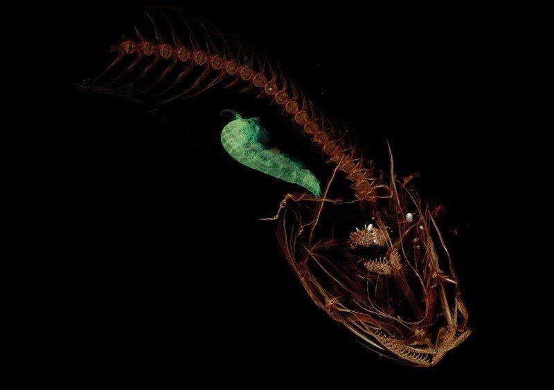 Маленькая, прозрачная и без чешуи — опубликовано видео рыбки, которая живет на глубине 8 км