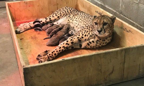 Многодетная мамаша. В зоопарке США самка гепарда родила сразу 8 малышей