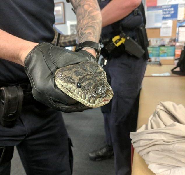 Нелегко австралийским полицейским: во время обыска в одном из домов они нашли наркотики, оружие и двух почти 15-килограммовых питонов