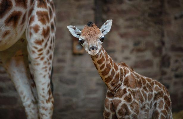 «И швец, и жнец, и на дуде игрец»: список требований к смотрителю жирафа в Честерском зоопарке впечатляет