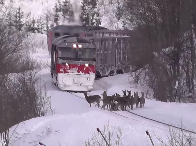 В Японии олени поездов не боятся, поэтому решили их отгонять звериными голосами
