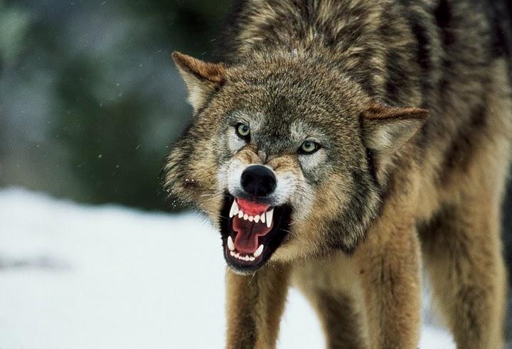 На Тернопольщине волчица перекусала 18 собак и напала на мужчину