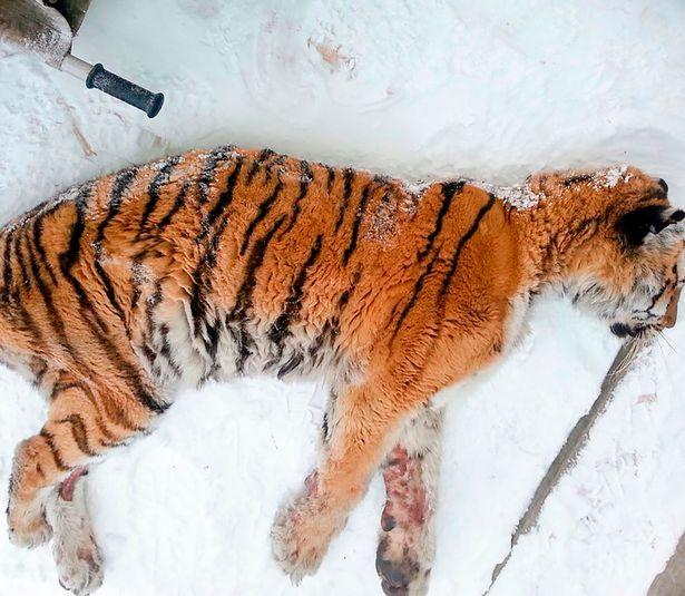 В России измученная тигрица пришла к людям за стоматологической помощью
