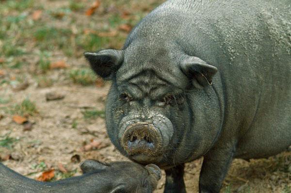 Трансформация свиней, или С Новым годом!