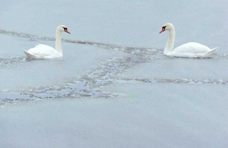 В Николаеве в ледяную ловушку попали лебеди