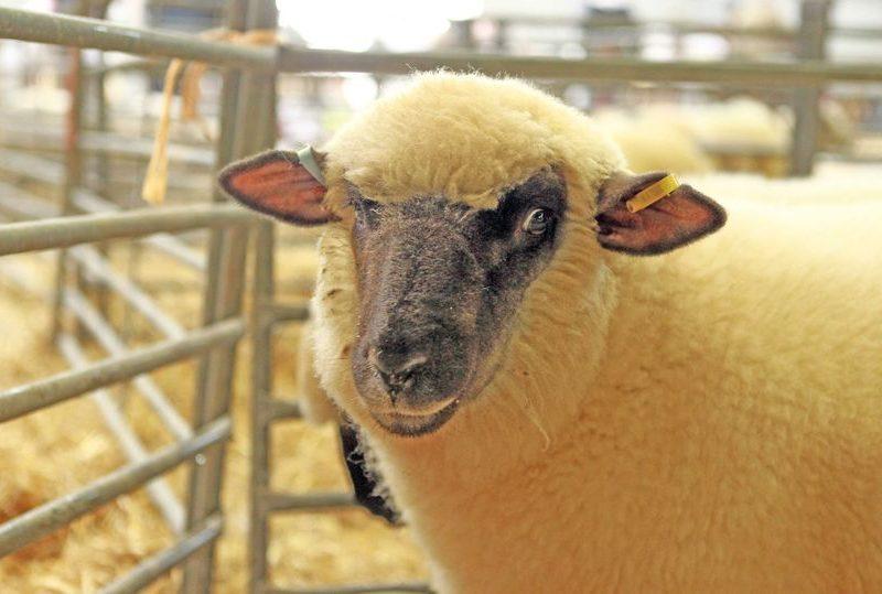 Из-за фуры с овцами. Теперь животных в Украине велено возить нежно и с видеофиксацией