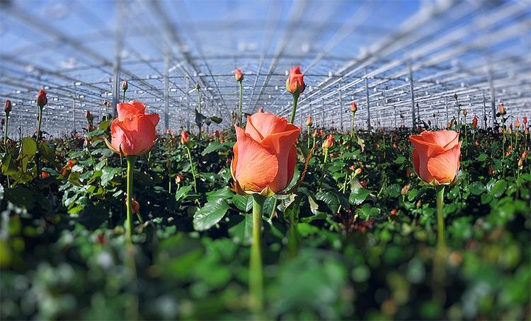 Свои надо выращивать. В Украине вводят спецпошлины на импорт роз