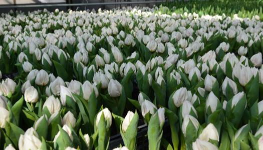 Таки весна. В Киеве на клумбы готовятся высадить 13 млн. цветов