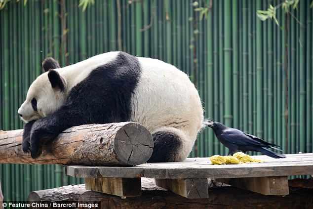 Наглая птица: ворона решила, что ее гнездо должно быть выстлано мехом панды из «того самого места»