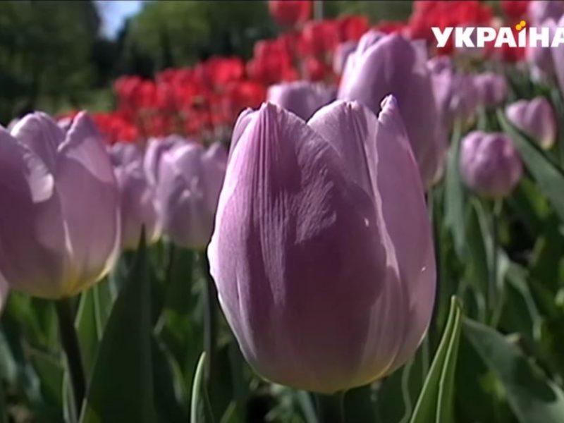 Посольство Нидерландов передало украинским медикам сотни кустов тюльпанов – в качестве моральной компенсации (ВИДЕО)