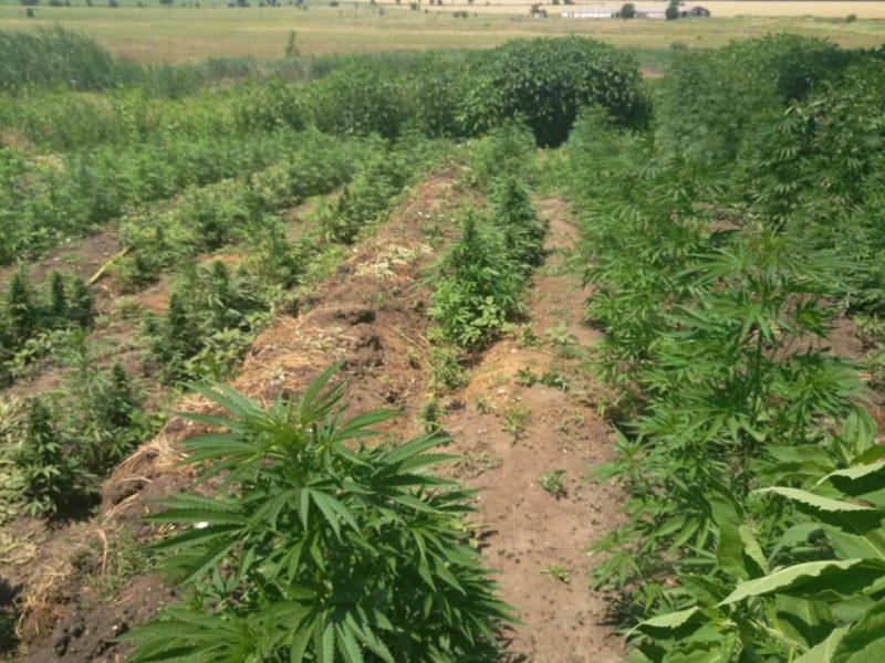 На Николаевщине обанкротившийся фермер обустроил плантацию, на которой вырастил марихуаны на 1,5 миллиона