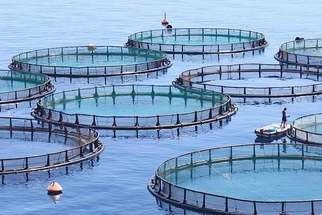 От черноморских устриц и форели до водорослей: возможностям Николаевщины в области морекультуры завидуют и турки, и китайцы