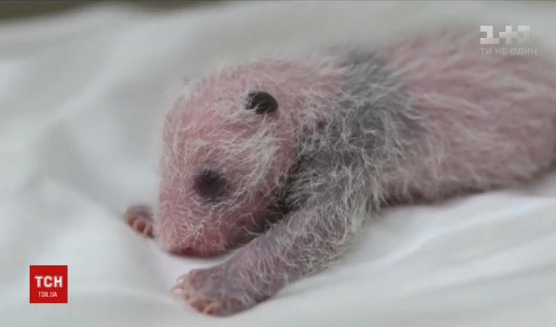 Китайские зоологи показали видео рождения черно-белой панды