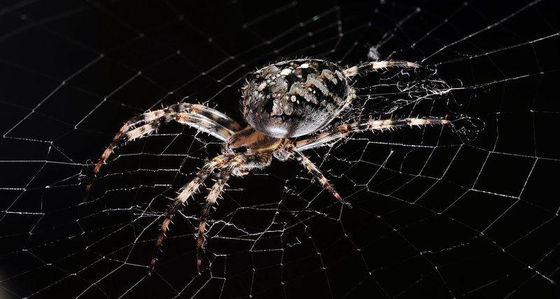 Огромный паук убил опоссума и попал на видео