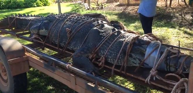 Неуловимый монстр. В Австралии поймали огромного крокодила