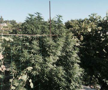 Конопля как спрятать вреден ли для здоровья марихуана