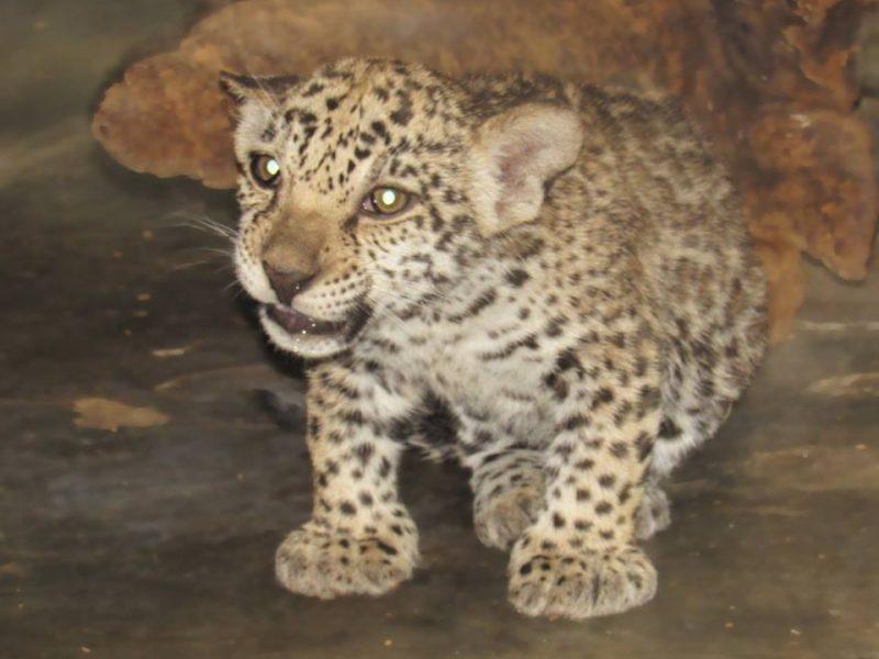 Николаевский зоопарк показал трехмесячных детенышей ягуара. Малыши уже оправдывают репутацию своего грозного вида
