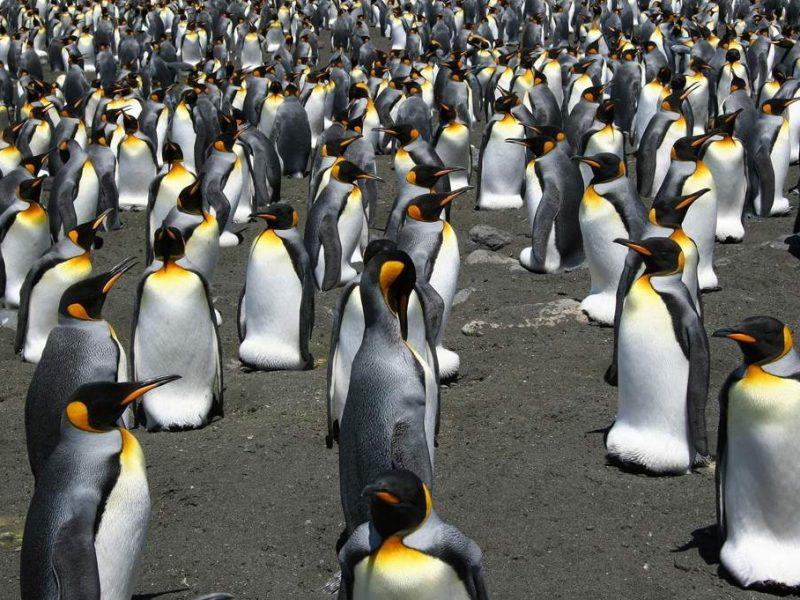 Самая большая в мире колония королевских пингвинов за 35 лет сократилась почти на 90%