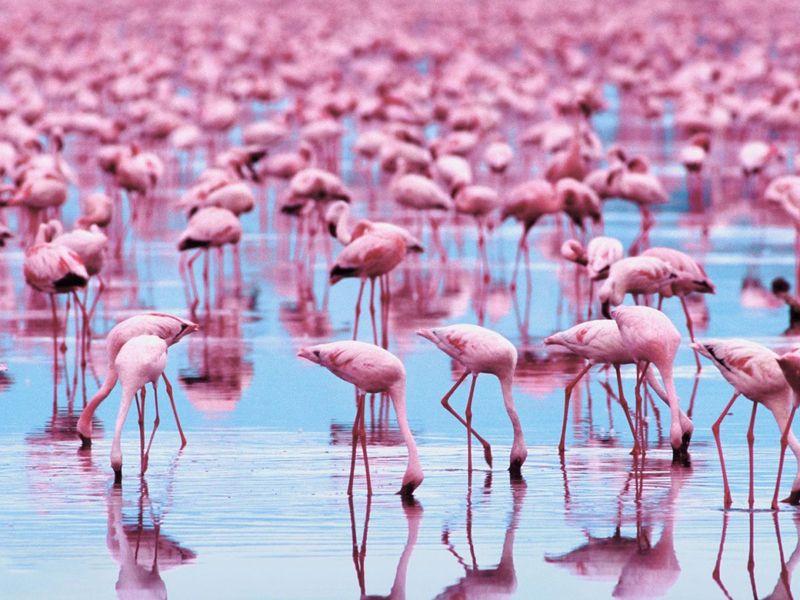 Редкое зрелище. Розовые фламинго превратили озеро Индии в розовое море (ВИДЕО)