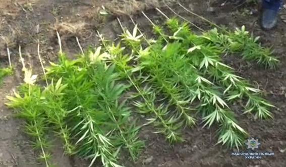 С одного куста конопли собрал наркотрафик марихуаны