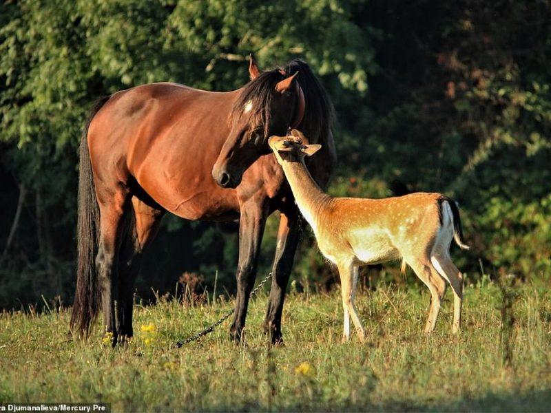 Домашние лошади усыновили дикого молодого оленя