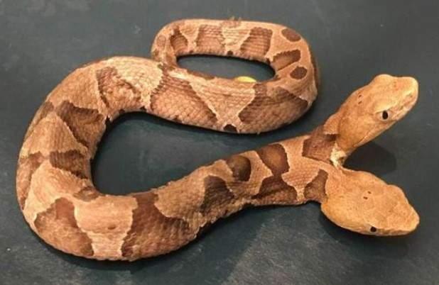Одна голова активнее. В США нашли змею с двумя головами