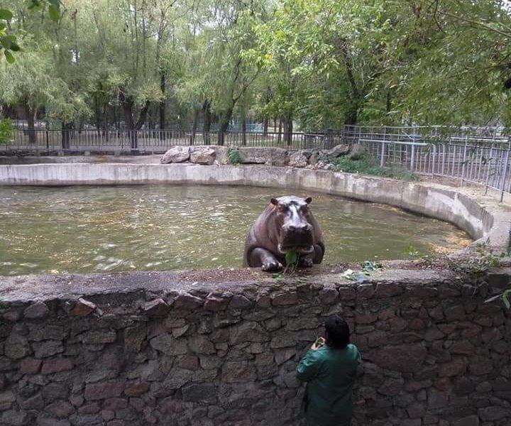 «И для фигуры полезно, и много интересного можно увидеть»: бегемотиха Рикки из Николаевского зоопарка освоила подтягивания