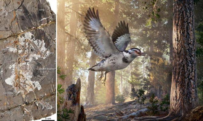 В Китае обнаружили окаменелости птицы возрастом 127 млн лет