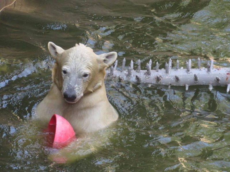 Родившийся в Николаевском зоопарке белый медвежонок оказался девочкой. Назвали Сметанкой