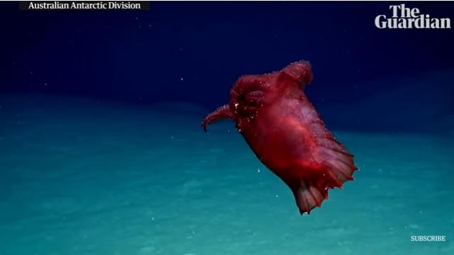Возле Антарктиды впервые сняли «безголового куриного монстра»
