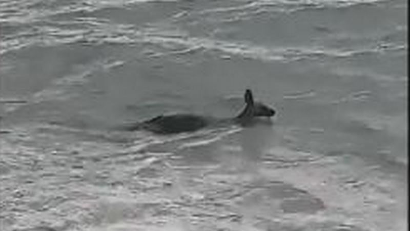 Австралийские полицейские бросились в океан, чтобы не дать утонуть кенгуру