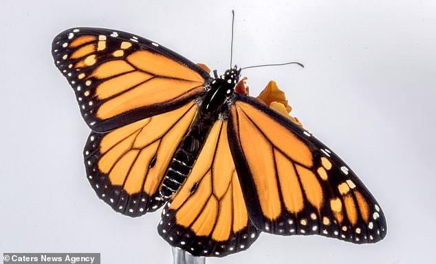 Рождение бабочки монарх: не такое это простое дело – появление на свет