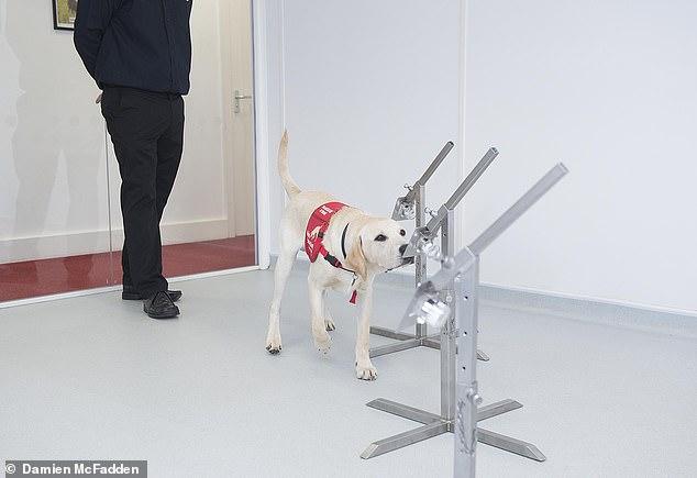 Человеческие спасатели: в Великобритании благотворительная организация воспитывает собак, вынюхивающих болезни