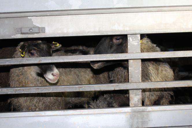 Блеюще-вонючий рейс: как закончилась история с овцами, застрявшими в порту Черноморска