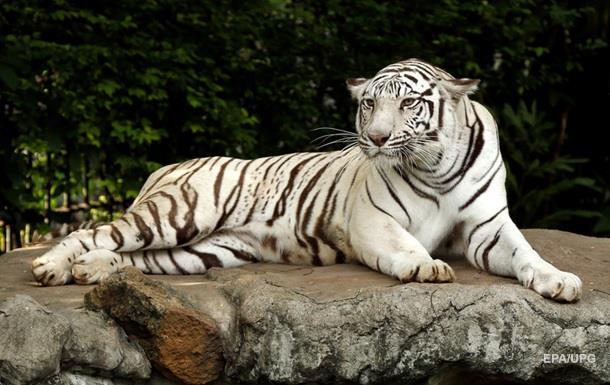 В Японии белый тигр загрыз работника зоопарка