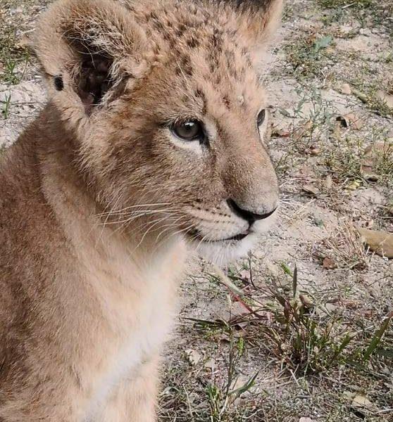 Малышке Гермионе 3 месяца – Николаевский зоопарк показал маленькую хищницу