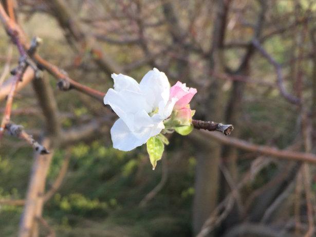 Осень! В Украине зацвели яблони и сливы