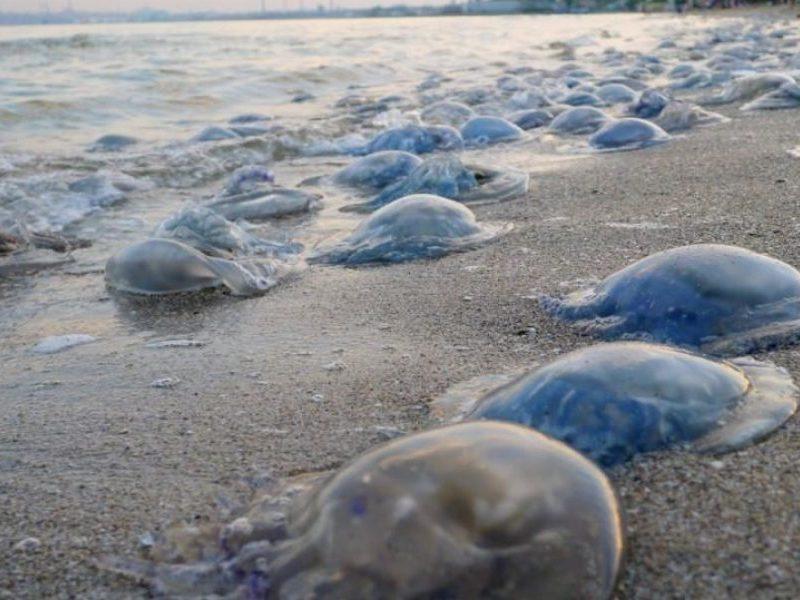 Это не вода, а кисель: ученые считают медуз в Азовском море и дают совет курортным отелям