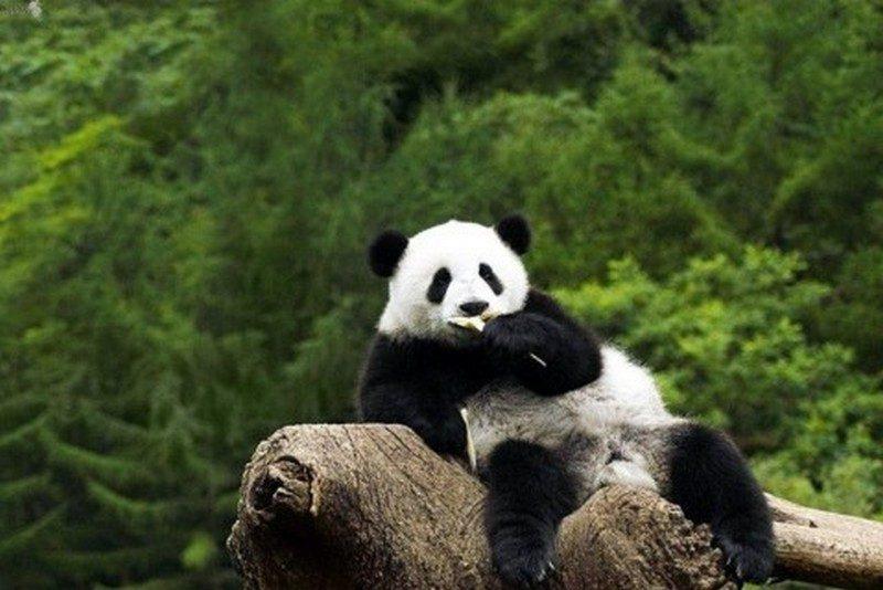 Больше никаких фото с пандами: в Китае теперь действует запрет