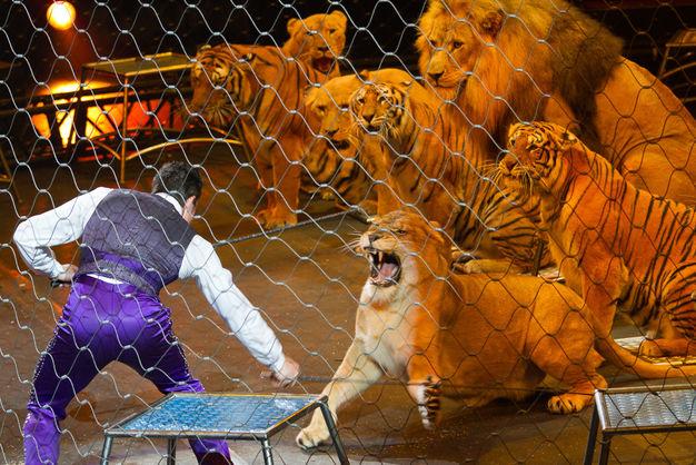 На Кубани львица напала на девочку во время циркового представления. Видео 18+
