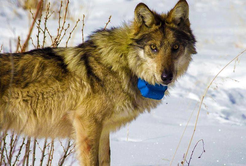 В Новобугский район из соседней области зашла стая волков