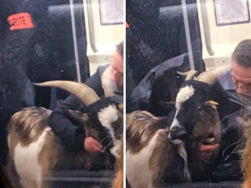 Одна из линий парижского метро была заблокирована мужчиной… с украденным козлом