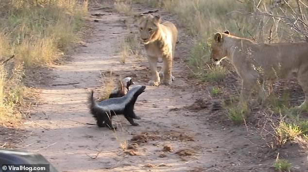 «Цари зверей» решили не связываться: пара медоедов отогнала львиный прайд